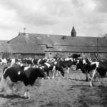 Kuhstall auf dem Rittergut Horndorf um 1968
